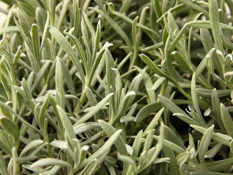 Lavandula angustifolia, Levandule lékařská, Fotografie 1