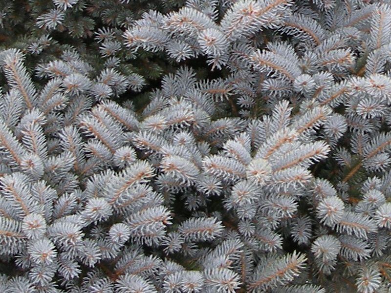 Picea pungens 'Glauca globosa', Smrk pichlavý, Fotografie 2