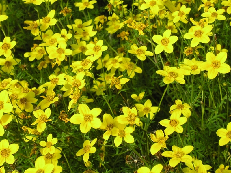 Bidens ferulifolia, Dvouzubec ločidlolistý, Fotografie 1