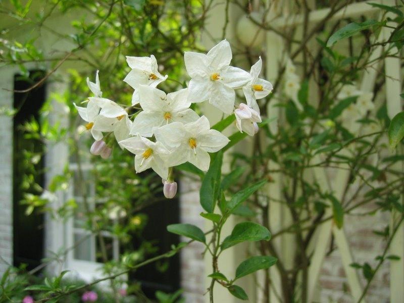 Solanum jasminoides, Jasmínokvětý lilek, Fotografie 1
