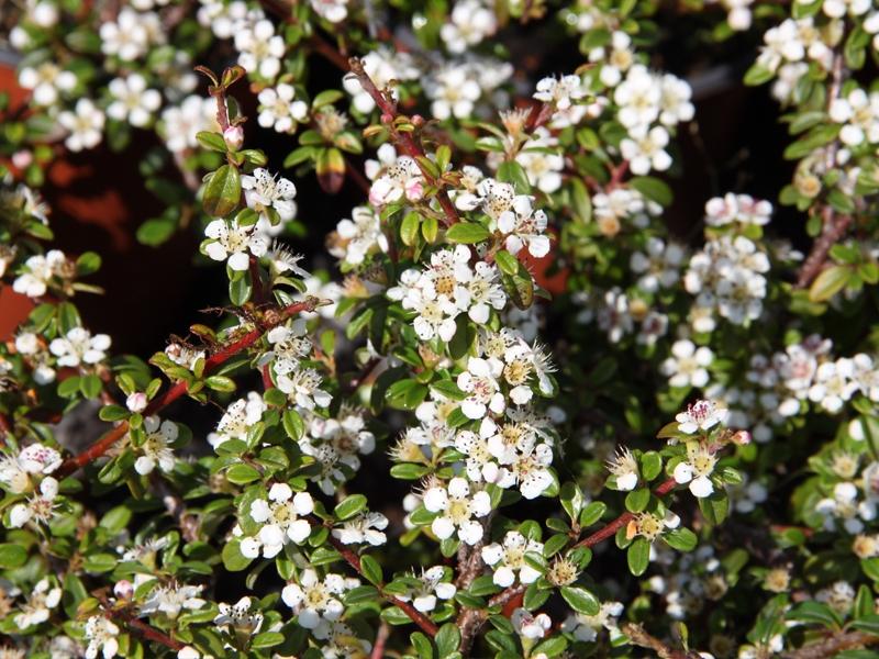 Cotoneaster dammeri 'Coral Beauty', Skalník Dammerův, Fotografie 1