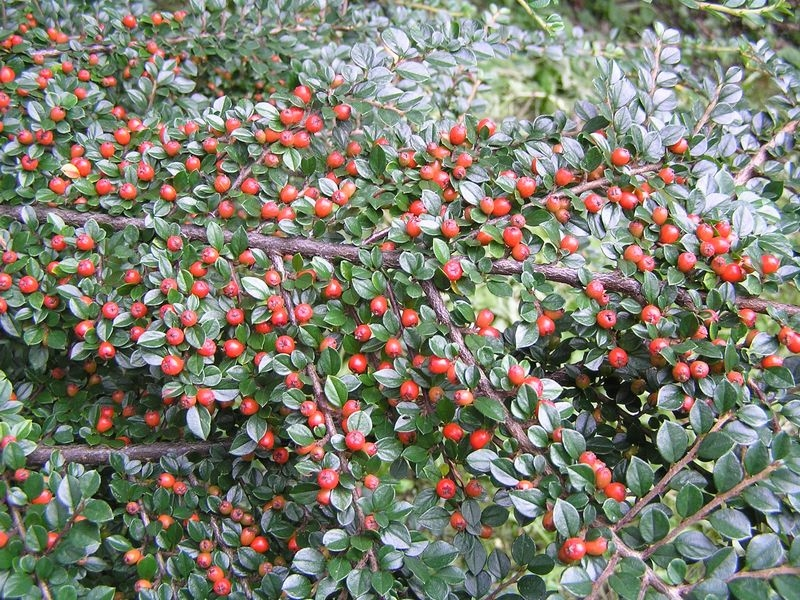 Cotoneaster horizontalis 'Robusta', Skalník vodorovný, Fotografie 2