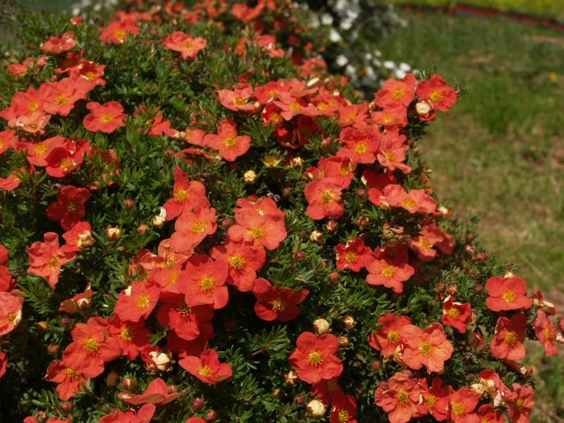 Potentilla fruticosa 'Red Ace', Mochna křovitá, Fotografie 2