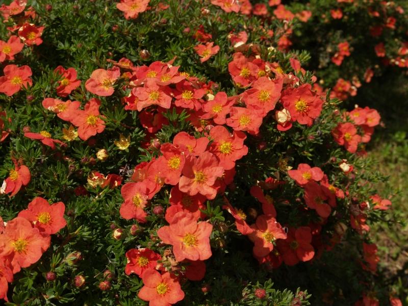 Potentilla fruticosa 'Red Robin', Mochna křovitá, Fotografie 1