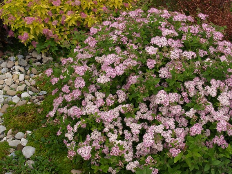 Spiraea Japonica Little Princess Spiraea Japonica 39 Little