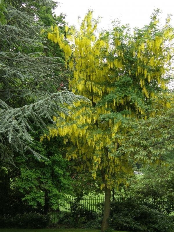 Laburnum anagyroides, Laburnum vulgare, Štědřenec převislý, Štědřenec obecný, Fotografie 2