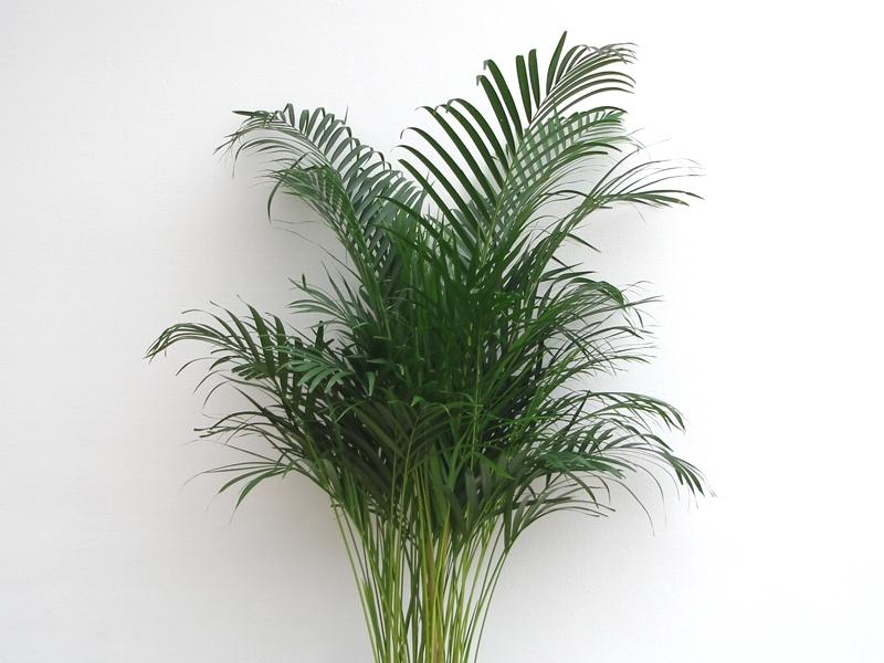 Chrysalidocarpus, Chrysalidokarpus , Fotografie 1
