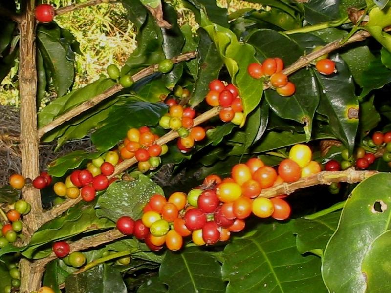 Coffea arabica, Kávovník, Fotografie 2