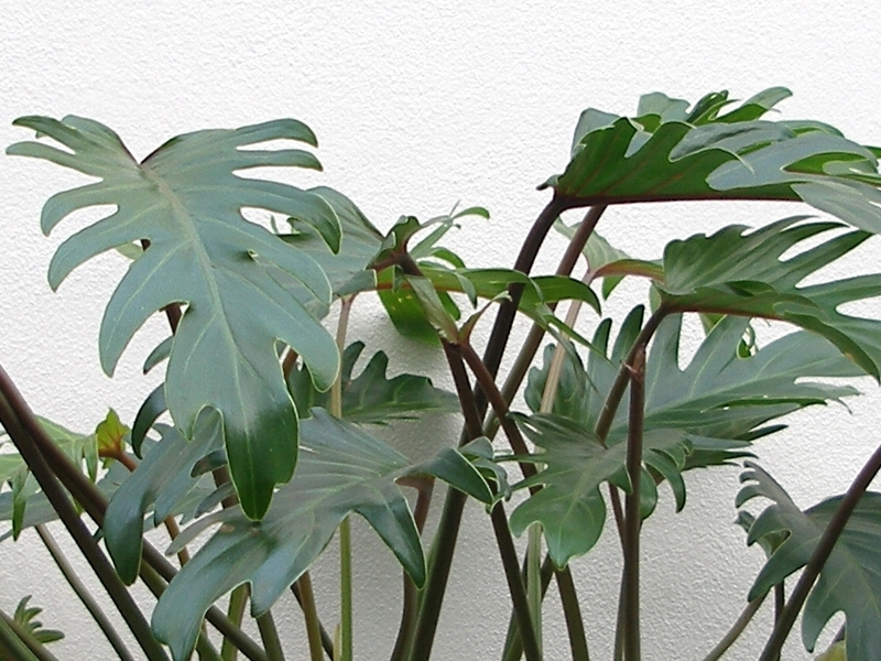 Philodendron, Filodendron, Fotografie 2