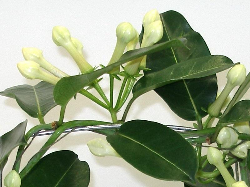 Stephanotis floribunda, Věncovec květnatý, Pokojový jasmín, Fotografie 2