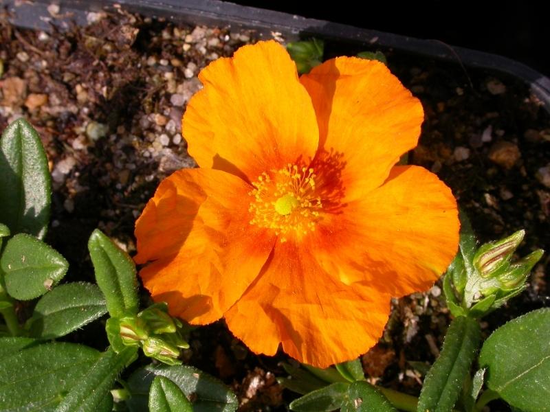 Helianthemum 'Orange Surprise', Devaterník, Fotografie 1