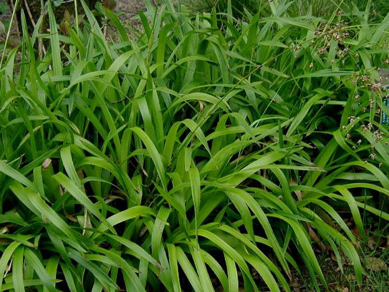 Luzula sylvatica, Bika lesní, Fotografie 2