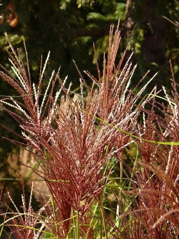 Miscanthus sinensis 'Graziella', Ozdobnice čínská, Fotografie 2