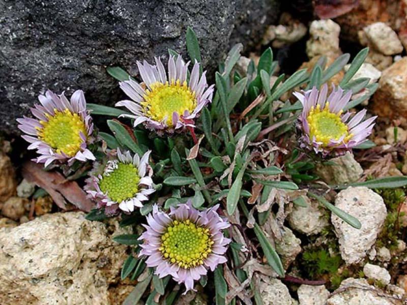 Townsendia rothrockii, Tausendie, Fotografie 1